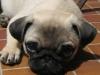 Dog-Walker-Fort Lauderdale-Puggles